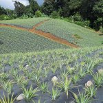 Division of Agriculture » Horticulture » Pineapple Cultivation