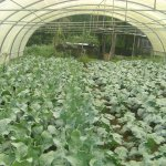 Division of Agriculture » Horticulture » Vegetable Cultivation