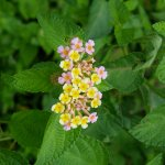 Lantana - Mamizou - food for Hummingbirds and Insects