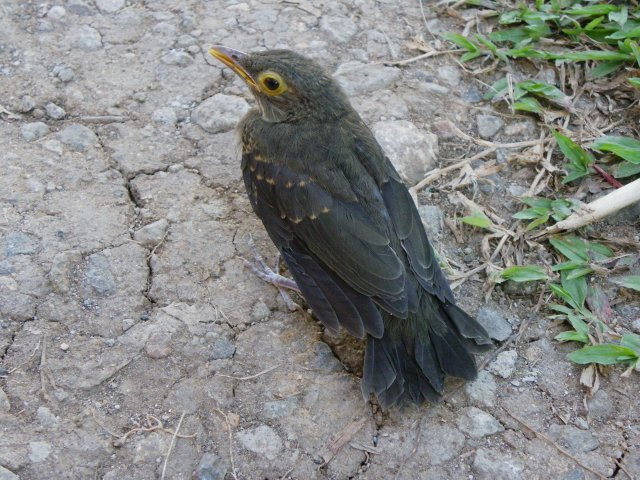 Bare-eyed Thrush - Juvenile