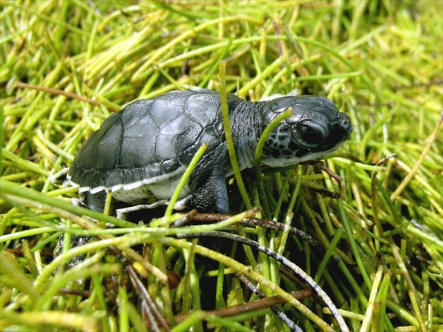 Endangered-Green-Turtle-Hatchling-running-to-sea