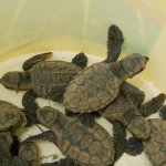Endangered Hawksbill Hatchlings