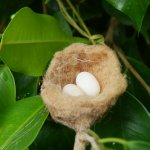 Lesser Antillean Crested Hummingbird Nest